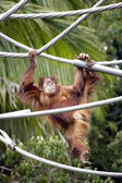 Orangutan monkey swinging on ropes — Stock fotografie