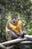 Retrato de un mono con vibrantes ojos verdes — Foto de Stock