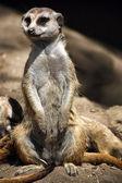 Portrait of meerkat standing up — Stock Photo