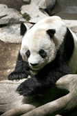 Portrait of a Panda — Stock Photo
