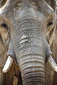 Porträt eines elefanten — Stockfoto