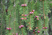 Fir or pine with fresh pink pine cones — Stock Photo