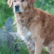 Golden retriever male dog — Stock Photo