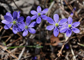 Blue forest flowers Hepatica in the early spring — Stock Photo