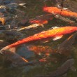 Fish in pond — Stock Photo