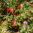 Red juniper berries on twig — Stock Photo