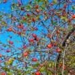 Rosehip berries — Stock Photo #32536747