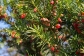 Juniper berries ripening — Stock Photo