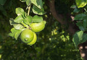 Lemons ripening — Stock Photo