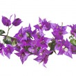 Bougainvillea — Stock Photo #36174847
