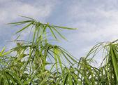 Umbrella papyrus (Cyperus papyrus) and blue sky — Stockfoto
