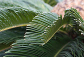 Palm Cycas revoluta closeup — Stockfoto