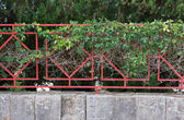 Clinging green plant on red fence — Stock Photo