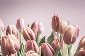 Vintage tulips pale pinks — Stock Photo