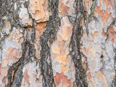 Bark texture background Scots pine — Stock Photo