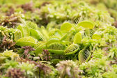 Venus flytrap Dionaea muscipula — Stock Photo