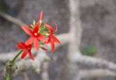 Red flower shrub Jatropha macrantha — Stock Photo