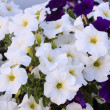 Beautiful white flowers — Zdjęcie stockowe #28782519