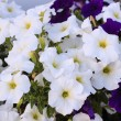 Foto Stock: Beautiful white flowers