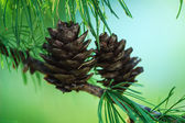 Fir Cone in Tree — Stock Photo