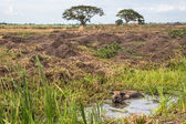 Landscape of farm and buffalo in swamp  — Stock Photo