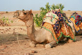 Camel in the desert. Waiting for cameleer. Jaisalmer, Rajasthan, — Stock Photo