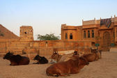 A herd of cows lying near a house in the city of Jaisalmer. Rajasthan, India. — Stock Photo