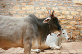 Two cows are in Jaisalmer. — Stock Photo