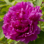 The beautiful peony flowers — Stock Photo