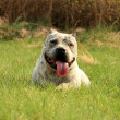 Stock Photo: Purebred AmericBully Canine Dog.Green grass background