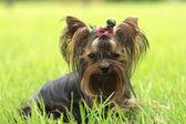 Perros yorkshire encantadores — Foto de Stock