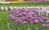 Tulip in the field — Stock Photo