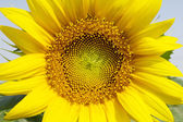 Sunflowers at the field in summer — Foto Stock