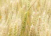 Autumn grain — Stock Photo