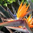 strelitzia flower — Stock Photo