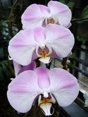 Purple White Orchid — Stock Photo