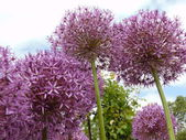 Purple Allium — Stock Photo