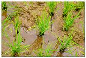Sri Lanka, rice field near Kandy — Stock Photo