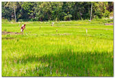 Sri Lanka, rice field near Kandy — Stock Photo