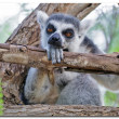 Lemur cattSpain, Valenci- Bioparc — Stock Photo #35497101