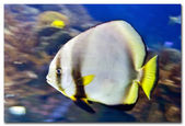 Marine flatfish — Stock Photo