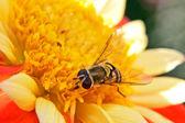 Bee in flower field — Stock Photo