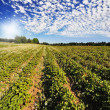 Strawberry Fields at Sauvie Isalnd Oregon — Stock Photo