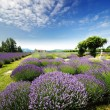 The Lavender Valley of Oregon — Stock Photo