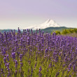 Beautiful lavender field in hood river with background Mt Hood — Stock Photo