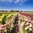 Beautiful dahlia fest in oregon — Stock Photo