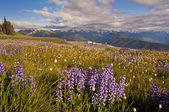 Hurricane Ridge, Olympic National Park, Washington, USA — Stock Photo