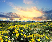 Yellow flowers with the grand tetons — Stock Photo