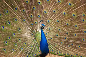 Beautiful peacock with feathers out — Stock Photo
