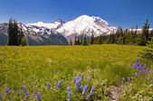 The MT Rainier with Beautiful Wildflower in the foreground — Stock Photo